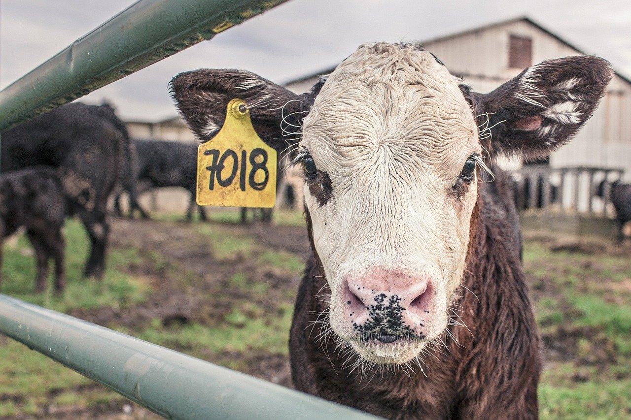 calf, cow, maverick